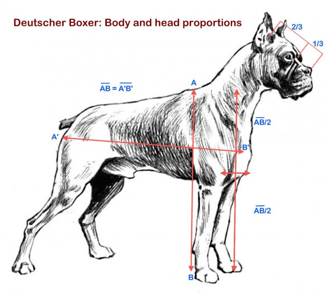 Boxer_proportions